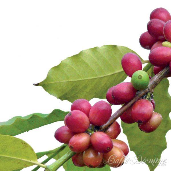 Kaffebär som handplockas när de är mogna blir goda kaffen från www.kaffeexperten.se